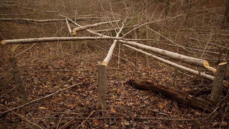 Deer Habitat Improvement: Hinge Cutting