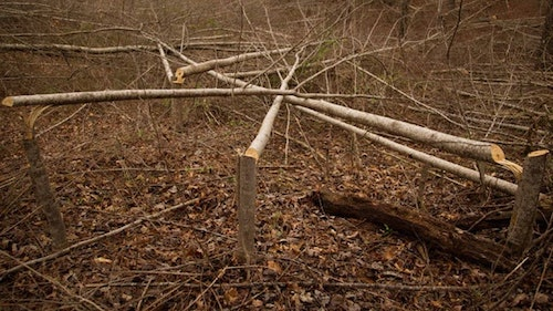 An area of hinge-cut trees creates a thicket that whitetails will adopt as bedding cover.