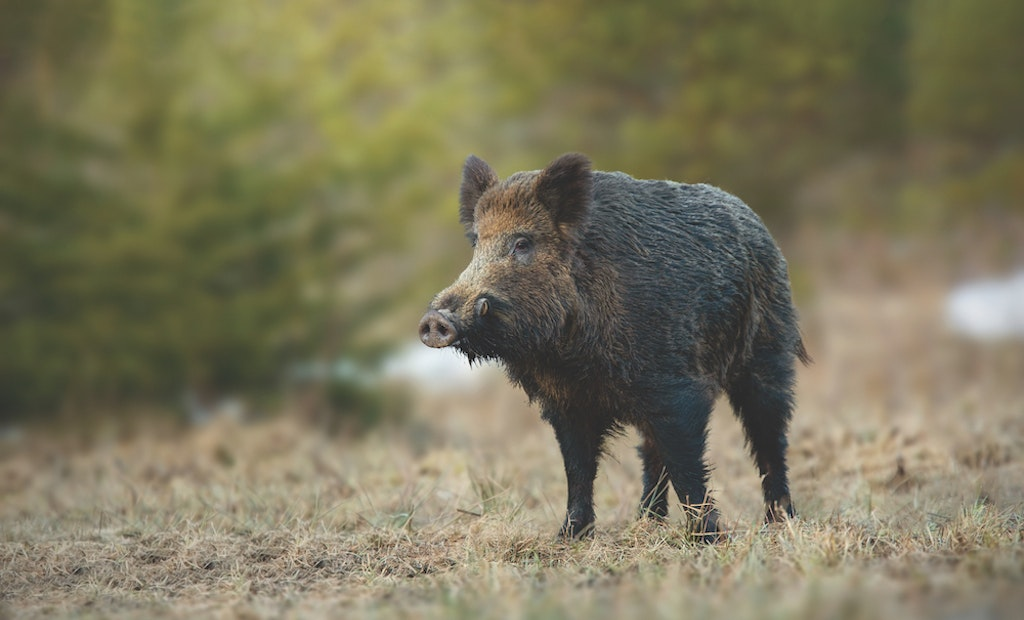 Hunting Hogs Day and Night