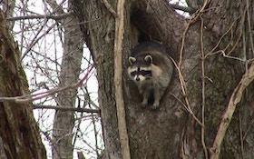 Calling In Daytime Raccoons