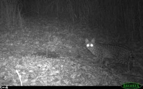 Missouri Trapper Catches Unique Bobcat