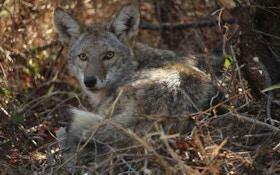Rhode Island Woman Guilty Of Feeding Coyote