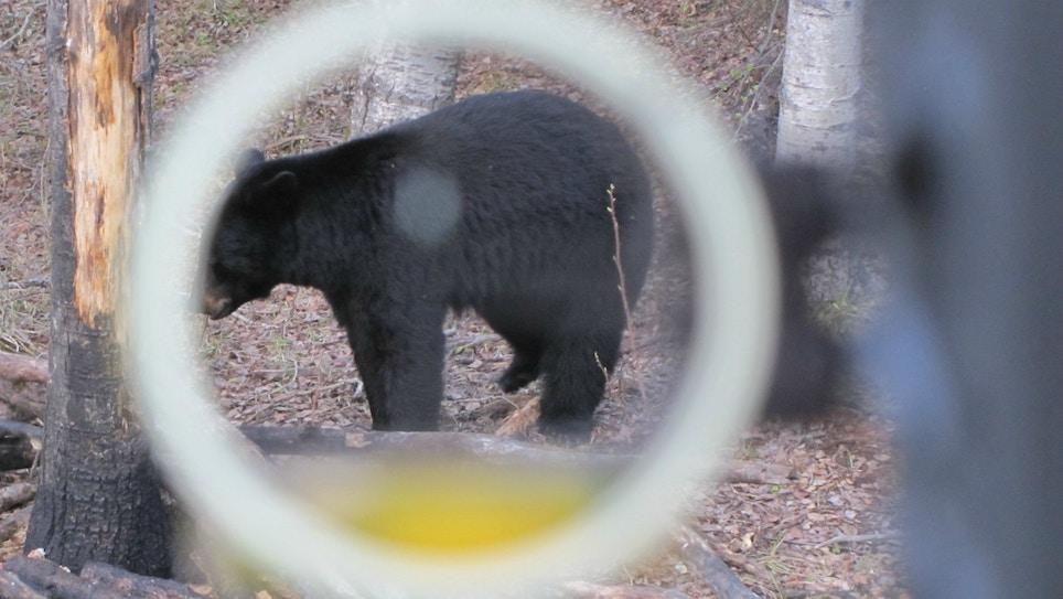 Baiting Black Bears on Public Land