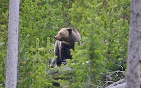 Problem Grizzly Bears — Who's to Blame?