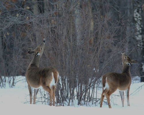 According to the Buffalo County Deer Advisory Council, the whitetail population is too high. But not everyone agrees on the severity of the problem, or how to solve it. (Image courtesy of Wisconsin DNR Facebook.)