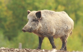 Feral Pigs, a Great Gateway for Young Hunters