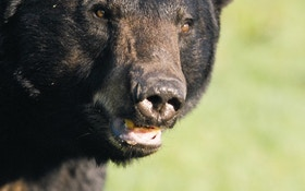 Trophy-only black bear hunting