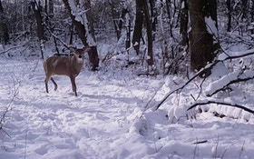 Understanding Whitetail Deer Movement