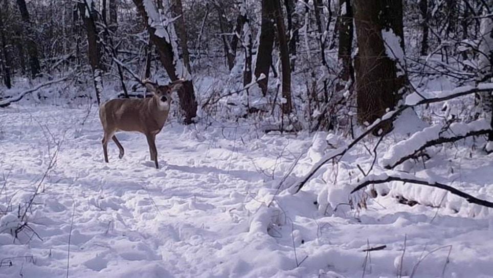 Understanding Whitetail Deer Movement