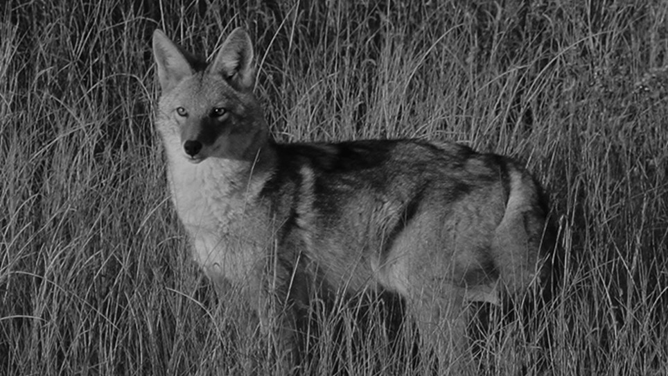 Nighttime Coyote Hunting Approved in Kansas