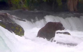 Katmai Fat Bear Week has Arrived Again!