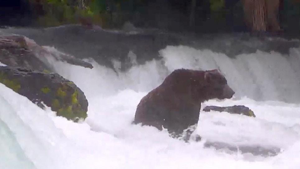 Katmai Fat Bear Week has Arrived Again!