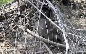 VIDEO: Summer Varmint Trapping Tips With Mark Kayser