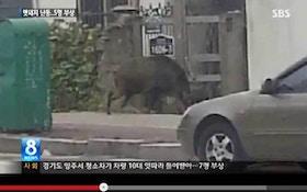 VIDEO: Wild hogs run amok across the globe