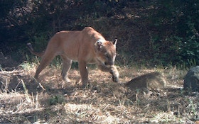 Mountain Lion Roaming Near School Shot, Killed