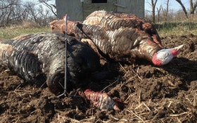 The No. 1 Blunder When Bowhunting Turkeys