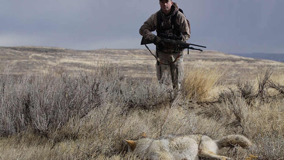 Why to Call Coyotes With the Wind to Your Back