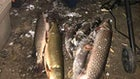 Game Warden Chronicles: Angler Busted for Muskie; Black Bear Poacher Gets $1,200 Fine