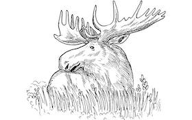 Moose Count Continuing Decline