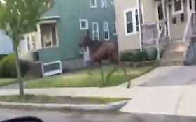Moose Casually Gallops Through Two Boston Neighborhoods