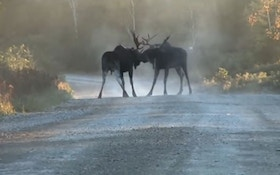 VIDEO: Bull moose fight, results in serious injury