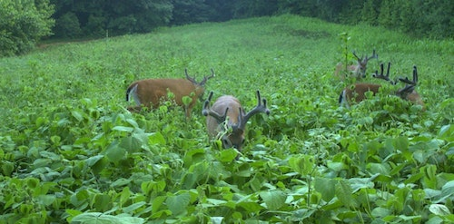If you spot velvet bucks feeding in a green field (this bachelor group is feasting on Mossy Oak BioLogic Lablab), don't assume the deer will still be around after hunting pressure increases.