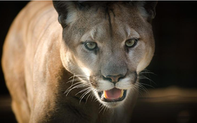 Mountain Lion Permit Registration Begins for New Season