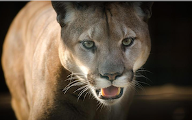 Mountain Lions Killed After Eating Human Remains