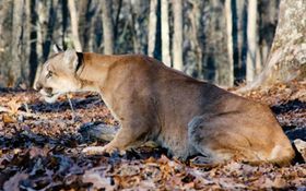 Cougars Making a Comeback in Show-Me State