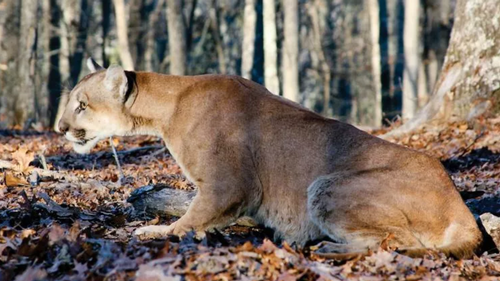 Mountain lion attacks are extremely rare.  There have been fewer than 20 mountain lion fatalities in North America in more than 100 years. Photo: Missouri Department of Conservation