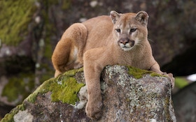 Wyoming Mountain Lion Numbers Successfully Lower