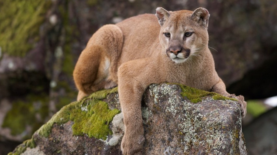 Hungry Mountain Lion Attacks Young Boy