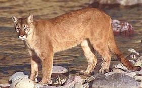 Mountain lion hunting closed in southwest North Dakota