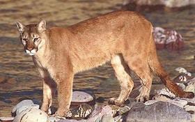 Nebraska Mountain Lion Hunting Bill Surfaces Again