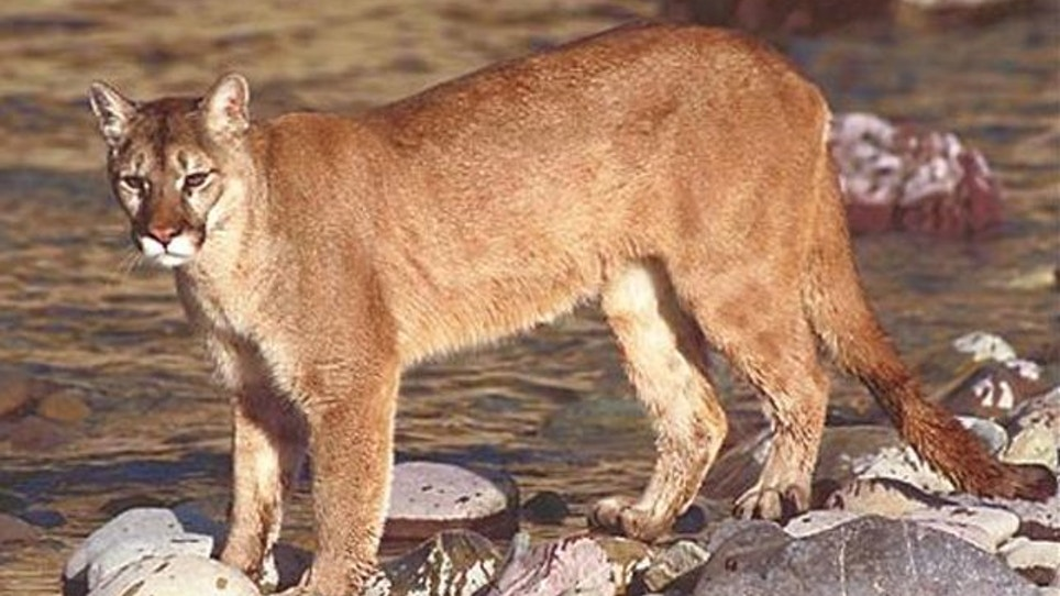Nebraska Mountain Lion Hunting Bill Surfaces Again