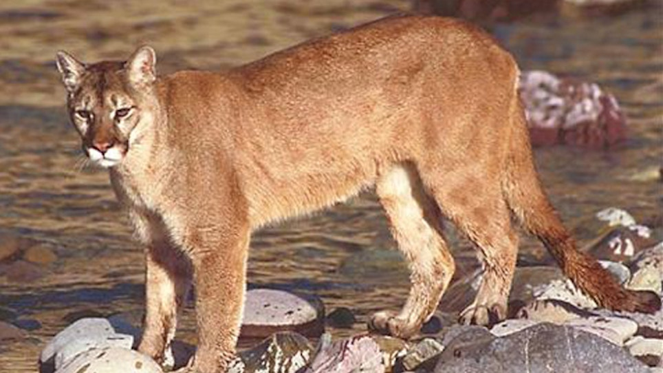 Georgia plantation using cougar urine to deter hogs
