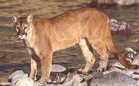 Heineman Vetoes Nebraska Bill To Ban Cougar Hunting
