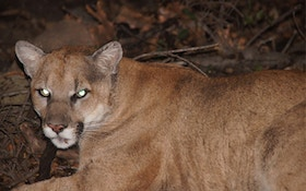 South Dakota committee backs dog use in mountain lion hunts