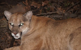 GPS Tracked Movements Of Los Angeles Mountain Lion