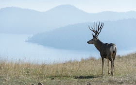 Mule deer vs. whitetail deer