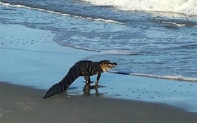 Video: Gator Eludes Cops On Myrtle Beach