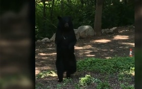 VIDEO: Bear That Walks Like A Human Re-emerges In New Jersey