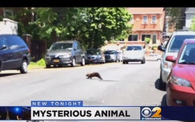 """Mystery Animal"" In New York City Finally Identified"