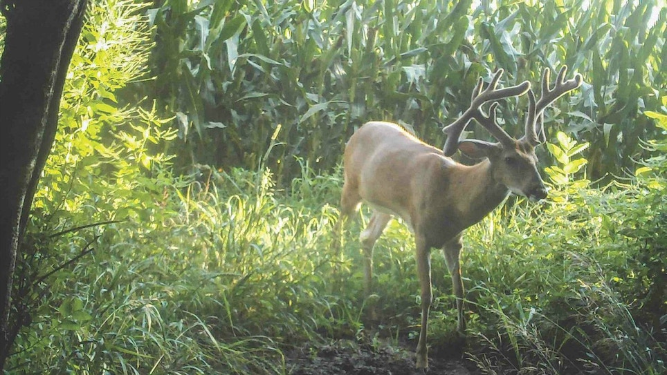 Tips for Growing —  and Keeping — Big Whitetail Bucks on Small Properties