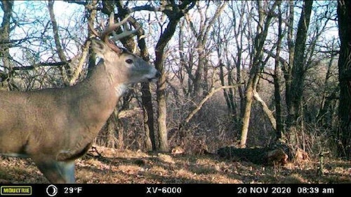 Scouting pics from Moultrie and SpyPoint cellular cams indicated that bucks were on the move on the author's South Dakota river-bottom in a big way during the dates of November 20 – 22.