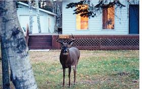 Find unpressured, mature bucks in the suburbs