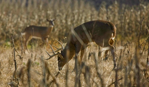 Deer rely mostly on their sense of smell to avoid predation. Their second line of defense is hearing. (Photo courtesy of Bass Pro Shops.)
