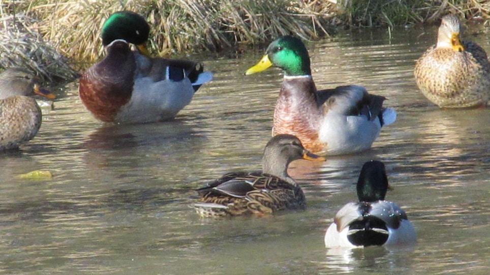 Three Ways To Hunt River Ducks