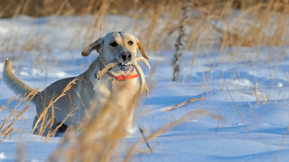 How To Train A Dog To Shed Hunt