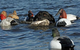 Hunting Diving Ducks: What, Where, How